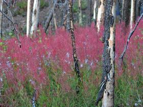 <p>Fireweed. Photo: Tim Engleman © Creative Commons Attribution-ShareAlike (CC BY-SA 2.0).</p>